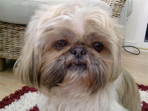 pictures of shih tzu shih tzu images bessie
