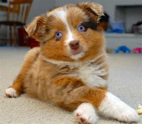 merle puppies australian shepherd breed 187 information pictures more