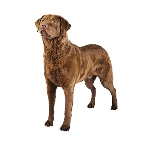 purina golden retriever chesapeake bay retrievers and all breed obedience and