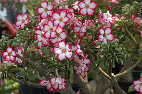 Nature Stek Harga pustinjska ru緇a adenium obesum