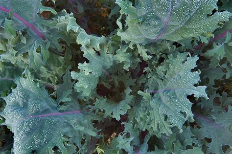 ornamental cabbage pictures ornamental cabbage search in pictures