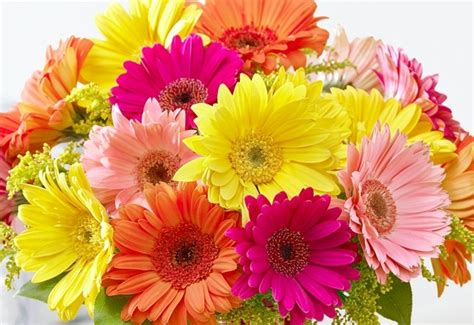 Gerber Daisies history and meaning of gerbera daisies proflowers blog
