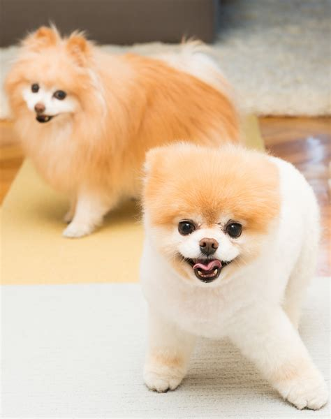 the pomeranian boo boo buddy the coveteur