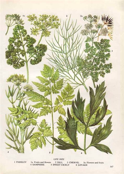 Italian Wall Mural vintage herb botanical print food plant chart art by