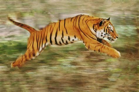 imagenes de tigres de bengala tigre de bengala related keywords tigre de bengala long