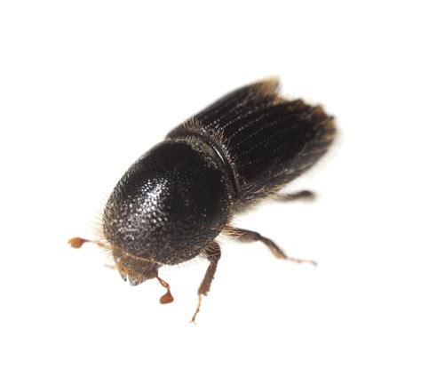 Pine Bark Beetle Pictures pine bark beetle and treatments