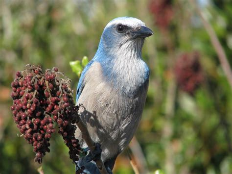 a scrub jay adventure at the space coast birding festival