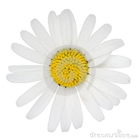 pratolina fiore fiore della pratolina fotografie stock libere da diritti