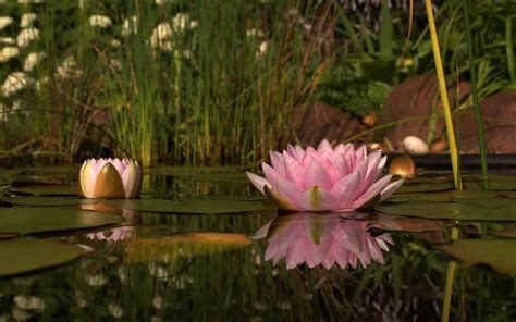 Where To Find Wallpaper the symbol of lotus flower is significant to buddhism and