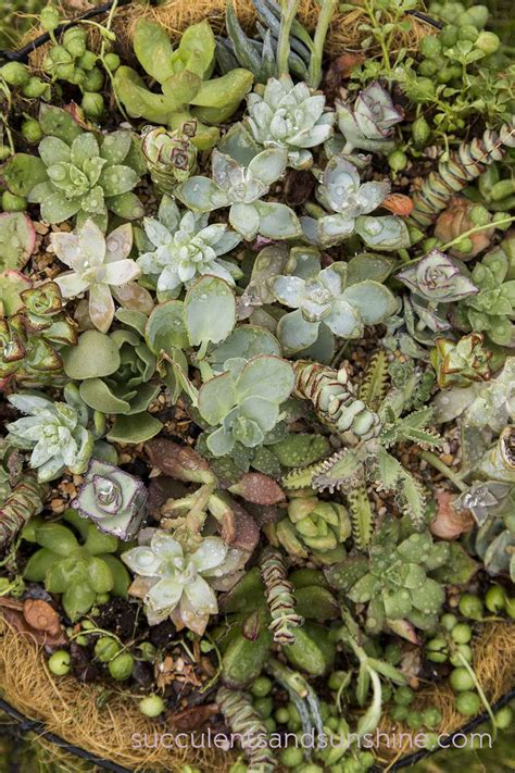 how to water succulent plants outdoors www