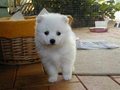 japanese spitz puppies japanese spitz puppies rescue pictures information temperament characteristics