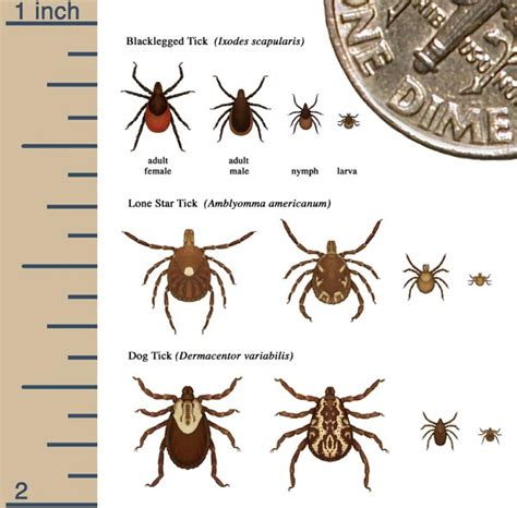 Extremely Light Headed by Tick Bite Reactions Pictures Symptoms Treatment