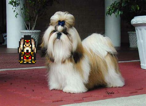 emperor shih tzu emperor gestahl is a shih tzu by milkman your on deviantart