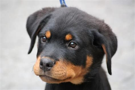how do you a rottweiler rottweiler puppy image jpg 24 comments hi res 720p hd