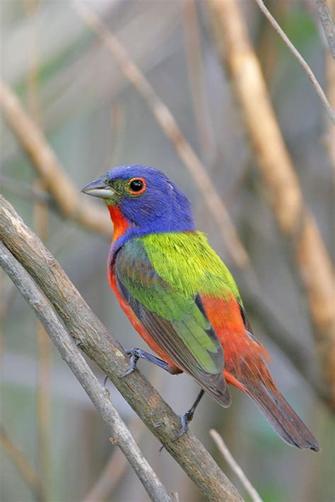 painted bunting photo greg lavaty photos at pbase com