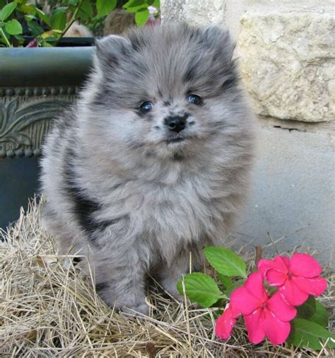 blue pomeranian puppies blue merle pomeranian puppy adorable animals blue merle pomeranian