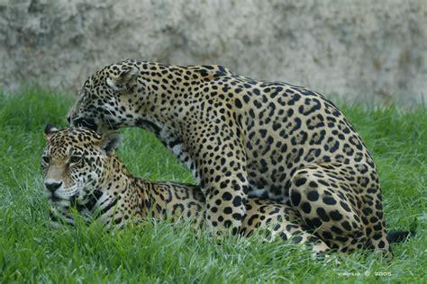 imagenes de jaguar hembra la reproducci 243 n sergio y paloma