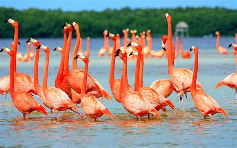 pink flamingo birds  water wallpapers