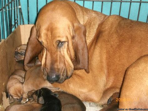 bloodhound puppies prices bloodhound puppies prices go search for tips tricks cheats search at