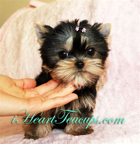 tiny teacup yorkie prices teacup yorkie archives iheartteacups