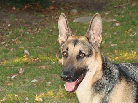 haired german shepherd haired german shepherd 7 things you want to