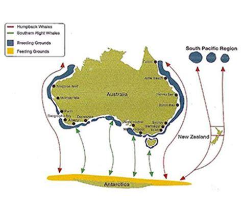 Blue Whale Diagram Bison Diagram Elsavadorla - diagram of blue whales map of blue whale elsavadorla