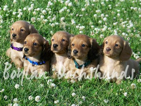 dachshund puppies kansas miniature haired dachshund puppies in kansas city 4k wallpapers