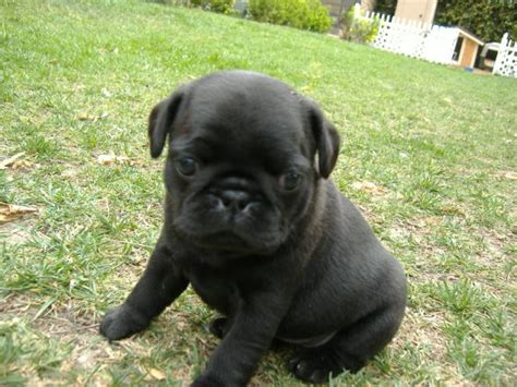 pug puppies available masse s pudgy pugs akc registered pugs puppies available fawn pug for sale
