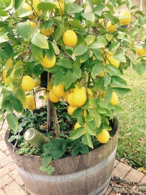 meyer lemon tree indoor lemon tree 35 seeds meyer lemon tree how to grow lemon tree from seed indoors