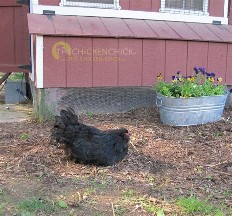 backyard chicken blog 100 backyard chicken blog pros and cons of raising