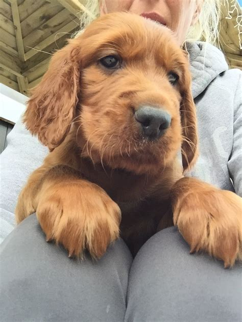red setter dogs and puppies for sale gorgeous irish red setter puppies york north yorkshire