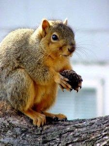 how to stop squirrels in your garden squirrely pinterest gardens squirrel and bulbs