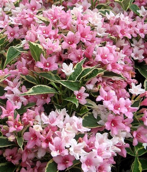pruning weigelas how and when to trim weigela bushes beautiful summer and spring