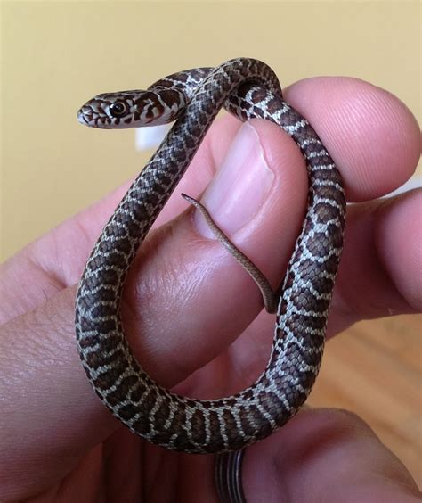 27 best reptiles and hibians images on pinterest baby eastern yellow bellied racer snakes pinterest