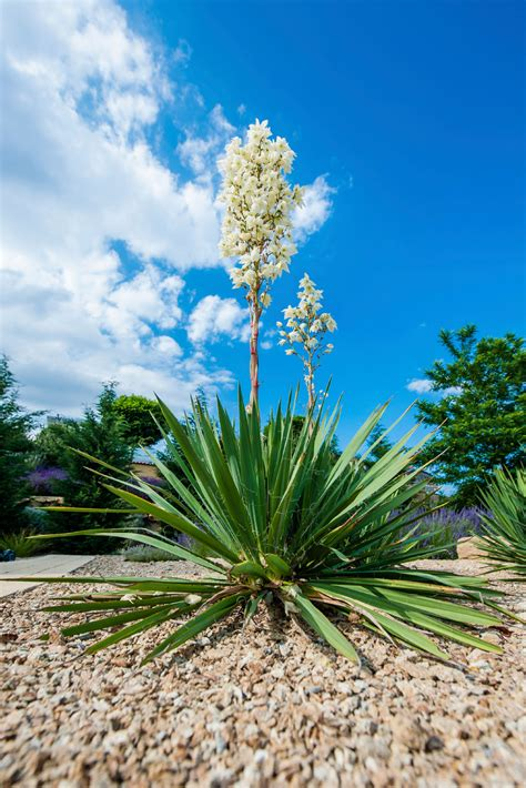 plants blooming caring for yuccas following blooms cutting yucca flower