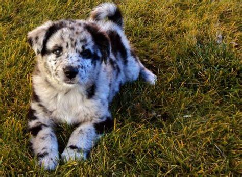 can dogs eat oreos best 25 blue merle australian shepherd ideas on australian