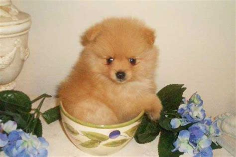 pomeranian care the teacup pomeranian does it exist and if so it is a pet