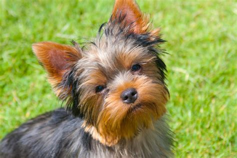 top yorkie names best terrier names dogtime