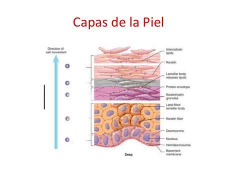 la piel de la morfofisiolog 237 a de la piel y aspectos farmacol 243 gicos