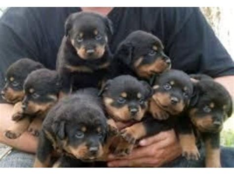 top quality rottweiler puppies top quality rottweiler puppies 100 purebred animals montgomery alabama