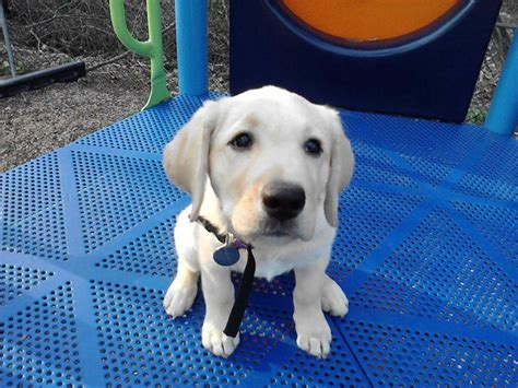 susquehanna service dogs 108 best images about puppies on puppy pics greenberg and park
