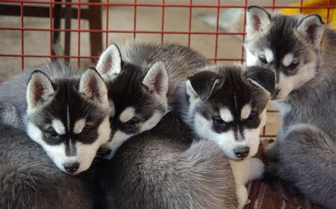 pomeranian club of america breeders pomsky pomeranian and husky mix