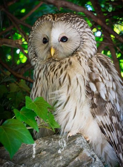 95 Best Owl Images On Animal - 1762 best owl magik images on animals owl and