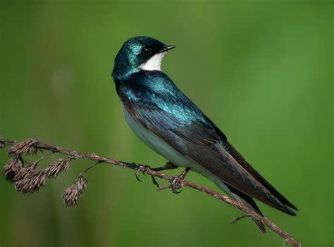 the digiscoper warbler swallow flycatcher sparrow