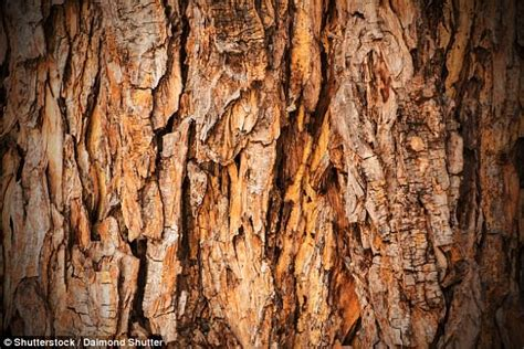 how to to bark how pine tree bark could make your fillings last longer daily mail