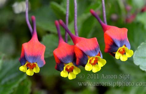 Sip Home Tropaeolum Tricolor