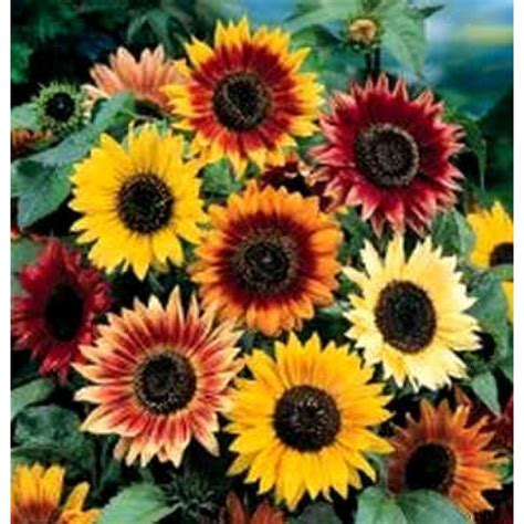 sunflower flower seeds helianthus autumn beauty seeds