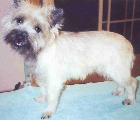 how to trim cairn face pdf cairn terrier grooming terrier grooming 28 pages