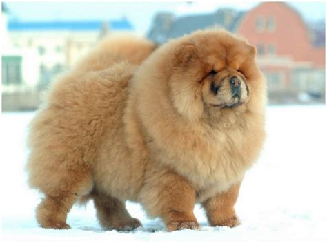 chow chow chow chow breeders facts pictures puppies rescue