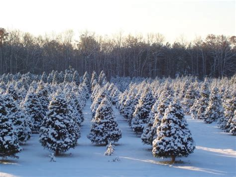 best christmas tree farms in aurora illinois local tree farms